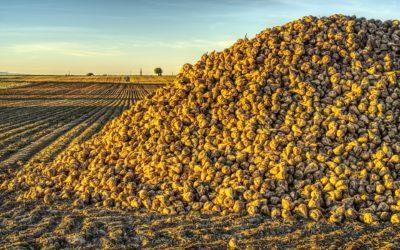 Kończy się sezon zbiorów buraków cukrowych